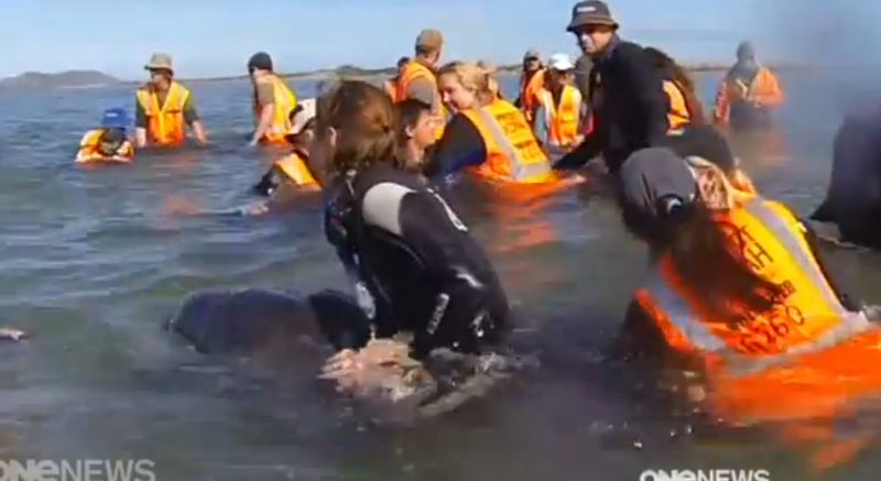 News Screen Shot - Farewell Spit stranding with Cody - calf