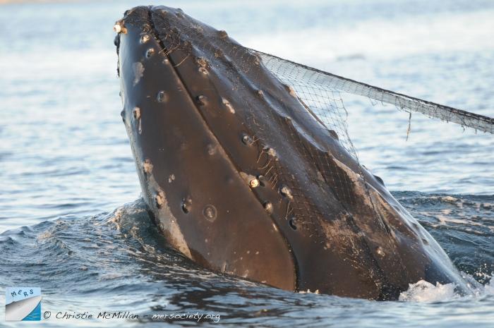 Addressing Ghost Gear That Threatens Cetacean Populations
