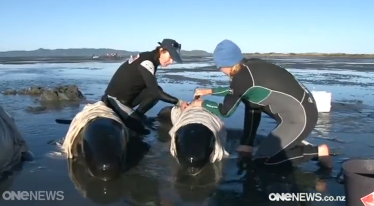 Pilot Whale Stranding in New Zealand: My Time with Cody