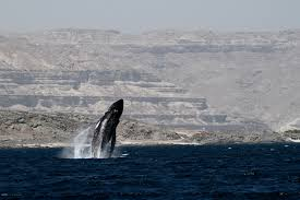 Finding Common Ground for Endangered Humpback Whales